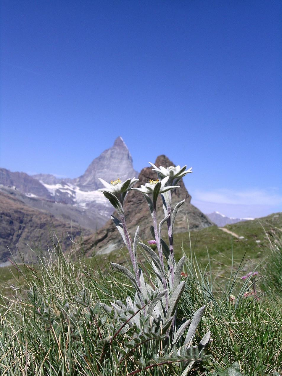 Leontopodium_alpina_with_Matterhorn.jpg