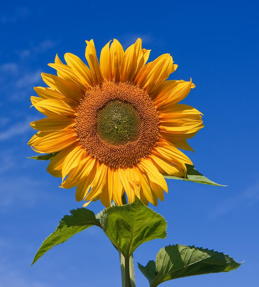 Sunflower_sky_backdrop.jpg